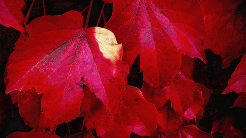 20100909125940-red_red_leaves