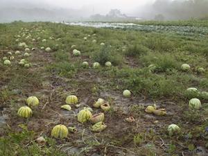 20100921093435-41_lucasfogliawatermelons