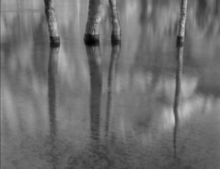 Bateman_cottonwoods