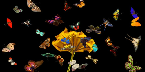 Butterflies_in_flight_4