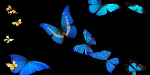 Butterflies_in_flight_3