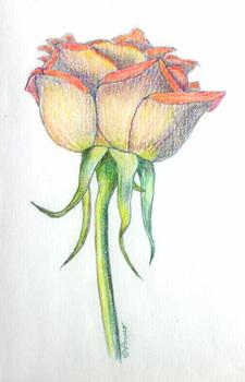 20101029150957-peruo_-_orange_rose