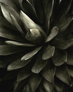 20101101160053-agave_attenuata_shawii_hybrid__malibu__ca__2007