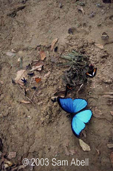 20101119140101-abell_morpho_butterfly_wings_open_36_x_24_txt