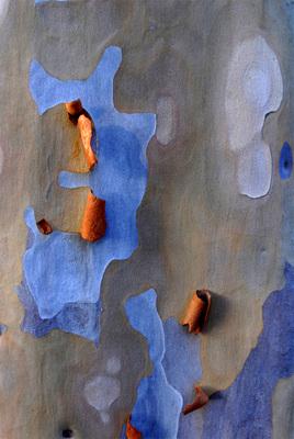 20101206184606-eucalyptus8