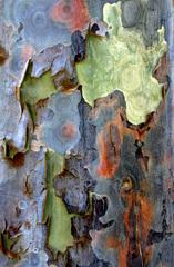 20101206190701-eucalyptus4
