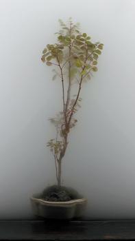 20101216141910-003_bonsai