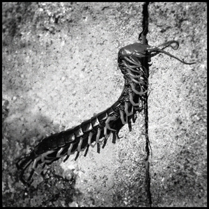 20110125172957-dead_millipede_copy