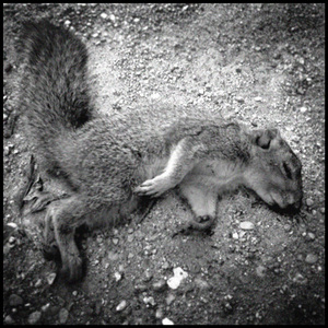 20110125173320-fresh_dead_squirrel_via_phone_copy
