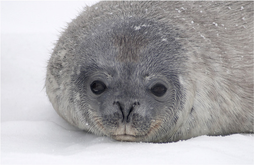20110212124335-_fe__weddell_seal_pup