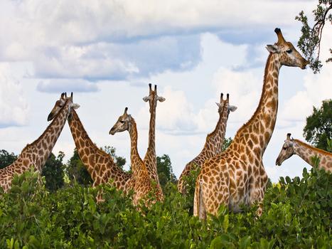 20110214175252-01_giraffe_garden