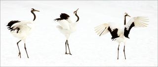 20110215074807-01_crane_dance_i