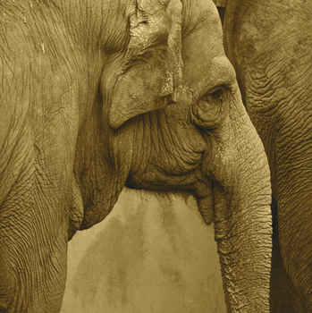 20110217231508-willie_mar_1elephant_20sepia_201020_20px_1_