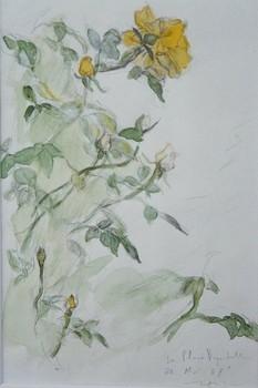 20110220012942-aqua_12_rose_jaune
