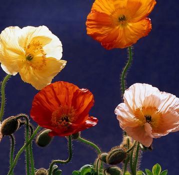 20110306145005-poppies_11