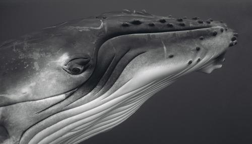 20110306180329-bryant_austin_humpback_whale_calf_pr