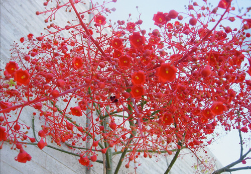 20110415122928-mady_4_red_tree_in_haifa