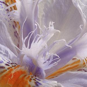 20110427021431-iris_japonica
