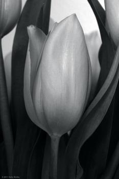 20110427225850-kpb-tulips01b
