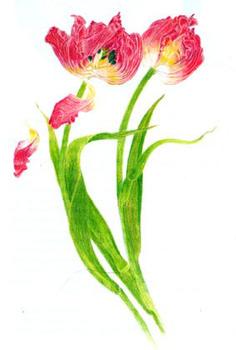 20110615104258-tulips