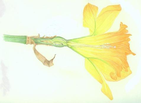 20110615133350-daffodil4