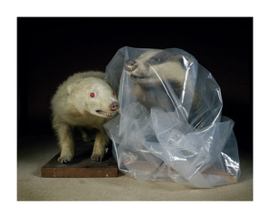 20110616041828-albino_badger_and_badger_in_a_bag