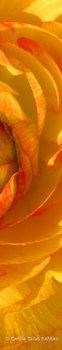 20110616112219-golden_petals
