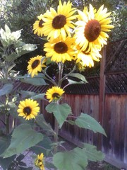 20110701150837-sunflowers_bwv0bs