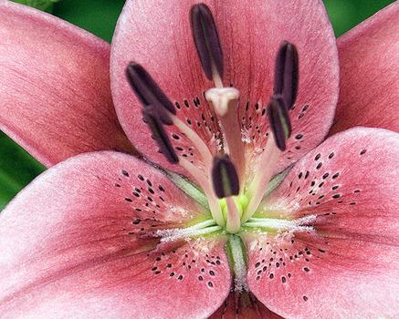 20110712083446-debra_kayata_pink_lily_