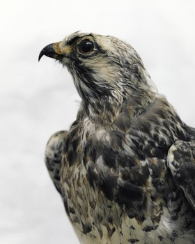 20110713075353-alma_haser_rough-legged_buzzard