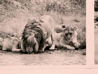 20110911221343-lions_9105862