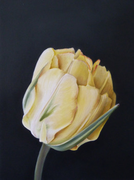 20110922164433-gershom_tulip_1_sm