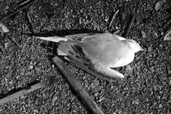 20111214134639-deadbirds37