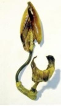 20120106150410-feniculum