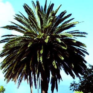 20120116154747-palmera_2
