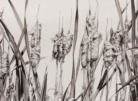 20120205202536-cattails_in_the_fall