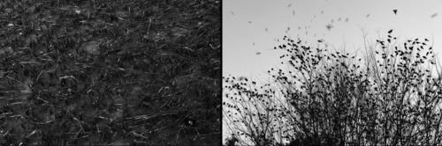 20120207165934-oiled_marsh_and_songbirds