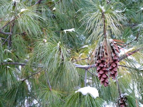 Winter_pine