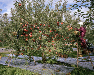 20120327193839-harvest_10