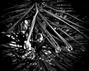 20120514131923-debra_kayata_black_pine_dew_drops