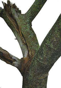 20130328201720-morrison-magnolia_trunk_series_no