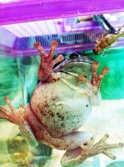 20120621234139-whites_tree_frog