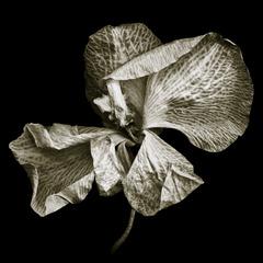 20120701030452-phalaenopsis_1_francis