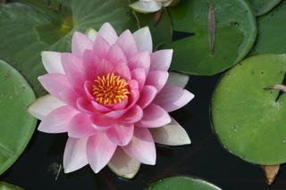 20120703122517-waterlilly_