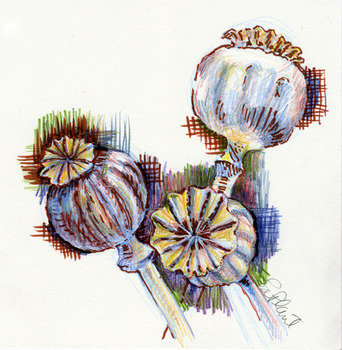 20120715221003-beautiful_poppy_pod_copy