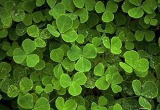 20120721154345-three_leaf_clover_theme-202679-1230690274-595x409
