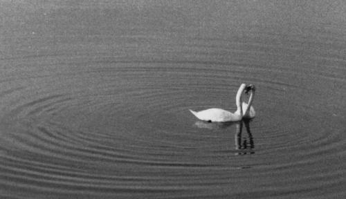 20120805083930-swans