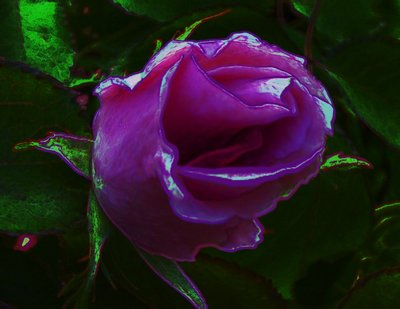 20120824022455-rosebud_bursting