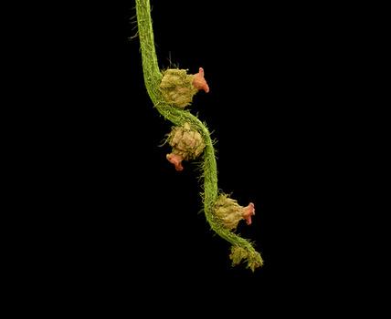20120827154358-kesseler-oak-flowers