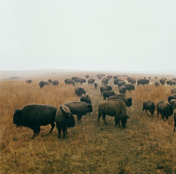 20120929000026-bison_at_maxwell_game_preserve__roxbury__kansasweb
